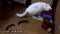 当猫看见身后黄瓜的那一刻,笑懵逼了