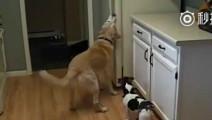 家里的狗狗居然在主人不在家的时候,做了这么多了不起的事情