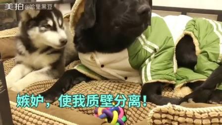 宠物#给冻成狗的黑豆穿上了新衣服,雪橇犬好像有点不高兴。每