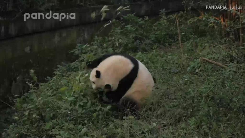 熊猫川包子: 川包包教你跳极乐净土