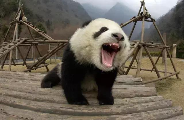 你觉得大熊猫的黑眼圈很萌? 但在另一头熊猫眼里, 那