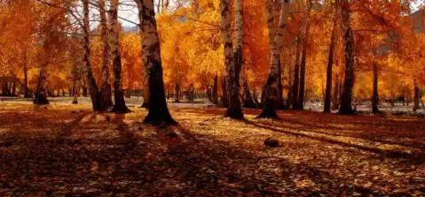 壁纸 风景 森林 树 桌面 桦林 桦树 479_223