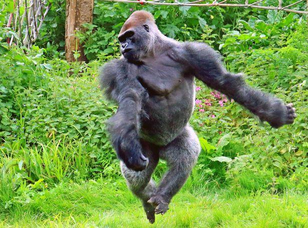英国大猩猩爱耍宝 动物园里上演芭蕾舞秀