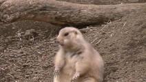 笑死我了!活捉一只正在干坏事的土拨鼠,第一次见这么萌的宠物!