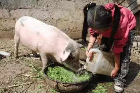 喂猪_表情大全图片