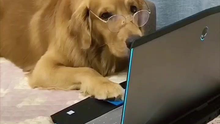 金毛发现主人在外面有狗,心里极度委屈忍不住大哭