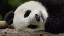 Panda come on baby 熊猫梅梅奔跑