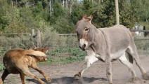 狗和驴抢食,驴上去一脚把狗踢懵逼,太厉害了!