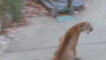 院外两只狗狗单挑猎豹,少年用手机拍下这一幕