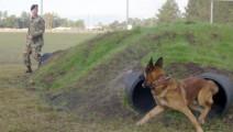 美军退役军犬大战黑帮两只比特犬,练过就是不一样,还能玩战术!