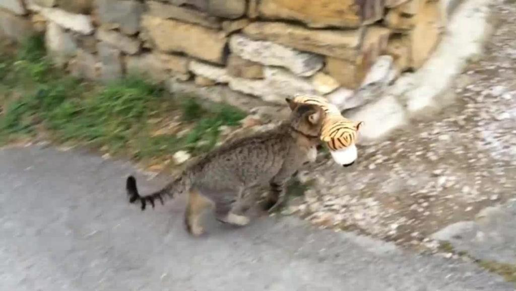 """喵星人逮了只""""老虎""""玩,厉害了我的猫"""