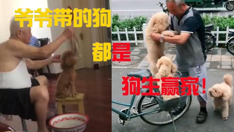 有一种狗叫爷爷带的狗,简直就是狗生赢家