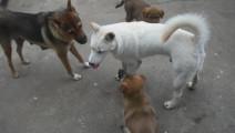这个视频我看了10遍,都没看明白,这四条中华田园犬在干嘛