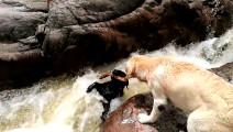 [萌宠 | 暖心]超聪明的拉布拉多狗狗 千钧一发之际救下了落水的同伴