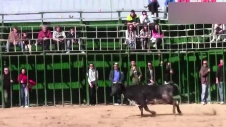 斗牛士骑上摩托那一刻,公牛脾气彻底爆发!