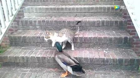 猫咪与鸭子打架, 这下遇上狠茬, 被啄的无力反抗!