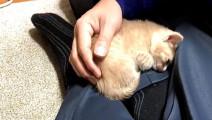 小奶猫必须在主人怀抱才睡觉,睡醒发现不在还会自己回去