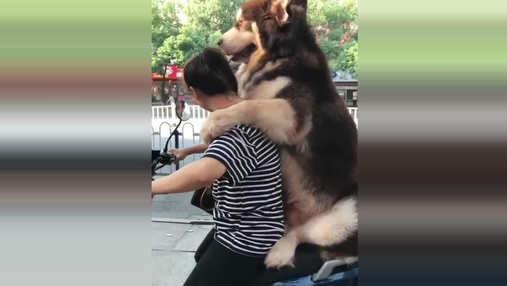 二百斤的狗狗出门非要坐车,车子还没走多远就被压爆胎了