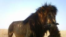 这恶心人的玩意终于被制裁了,两非洲雄狮玩一只鬣狗,后腿断了还想跑