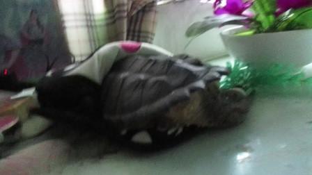 《老蔡》鳄龟想进暖手鼠标垫,可结果。。。。