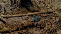 贝爷的荒岛实验,两个猛男为生存捉到一只咸水鳄!绑回去做烤肉