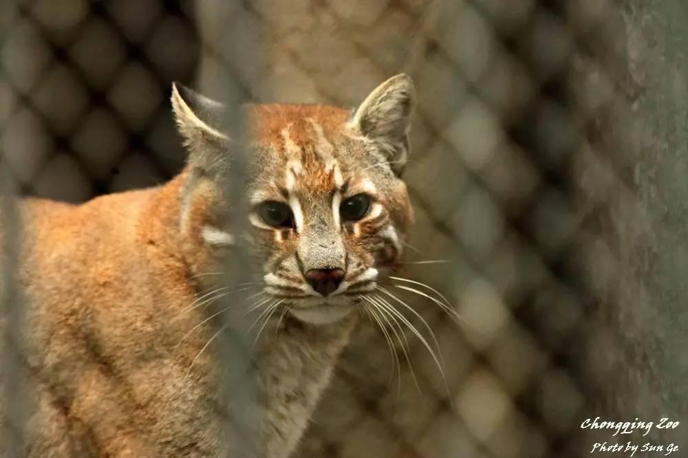 然而,2016年夏天,重庆动物园专为金猫和云豹修建了新展区.