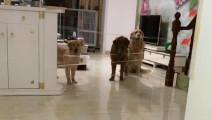 用胶带测试金毛 狗狗好聪明 总有那么一只智商总不在线