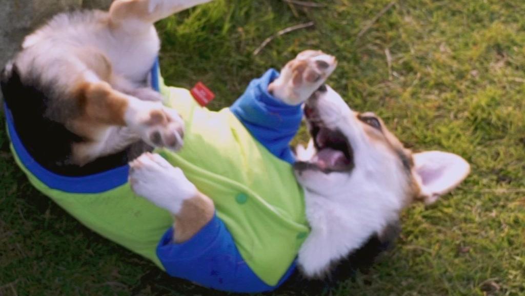 虽然只有四只小短腿,但柯基奔跑起来速度杠杠的!