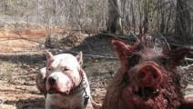 野猪秒杀杜高,野猪能看家护院肯定比狗强