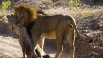 非洲这个部落狮子见了都怕,鬣狗更是其盘中餐