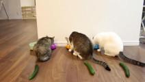 把黄瓜放到猫的背后,结果出乎预料