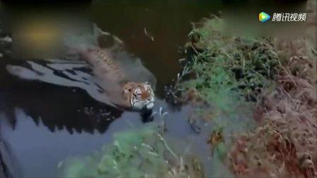 一只萌态小老虎河边玩水, 母老虎在一边全程细心看护
