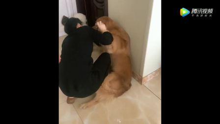 """见过狗咬人的,没见过人咬狗的!网红金毛""""轮胎""""秒怂,太吓狗了!"""