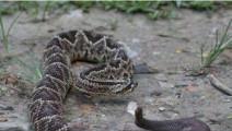 剧毒响尾蛇遇上它,挣扎逃跑都没用,这才是毒蛇天生的克星!