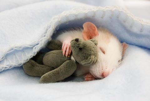 这只小老鼠抱着它可爱的小熊熊睡得香甜,看这可爱模样瞬间苏化整颗心