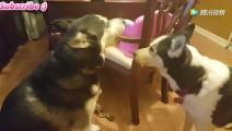 两只哈士奇通过视频聊天吵架 看一次笑一次蠢到极致了
