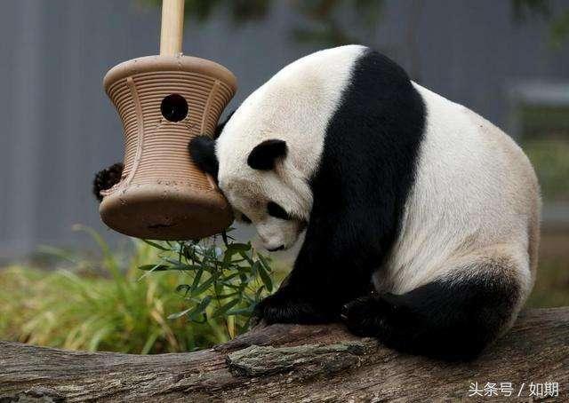 """熊猫,不行!"""" 没办法,谁让我们的胖达辣么可爱"""