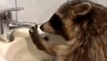 哈哈哈,一只开了水龙头不知道怎么关的小浣熊,好焦急啊,好萌啊