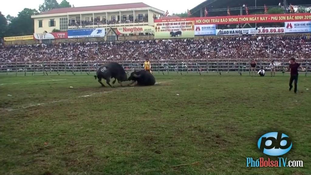 超级牛掰的斗牛视频!两头牛百米冲刺直接把一头牛撞死!超级罕见刺激!