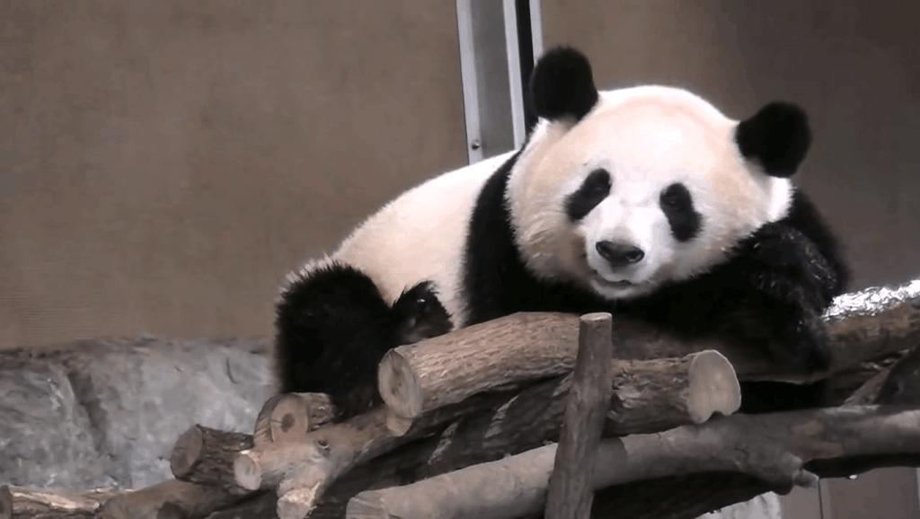 美国动物园大熊猫幼仔满月