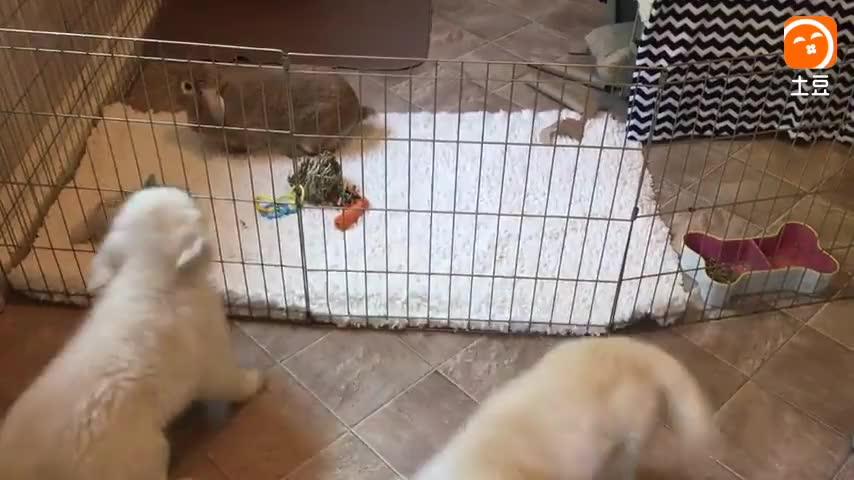 金毛猎犬兴奋地看到宠物兔子。