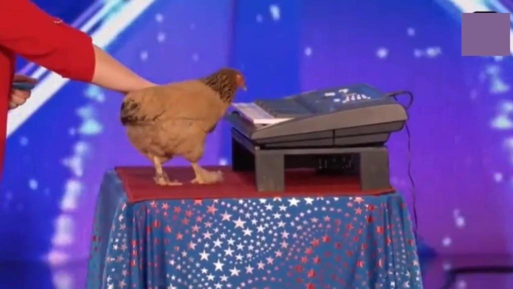 它是鸡中肖邦: 美国达人秀一只鸡弹奏歌曲,成精了!