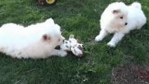 萨摩下狗宝宝后,主人气得全小区通缉狗爸爸,生的什么玩意