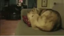 猫咪把正在熟睡的哈士奇当成垫子,上去之前还要先按一按软不软!