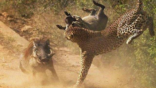 野猪与豹子的生死战,最经典的动物游击战!