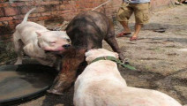 野猪的天敌: 纯种杜高犬,专业猎犬,猎人们必备爱宠。看这大嘴巴,真凶