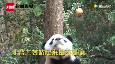 速看! 大熊猫喜兰配合钓猫的珍贵视频