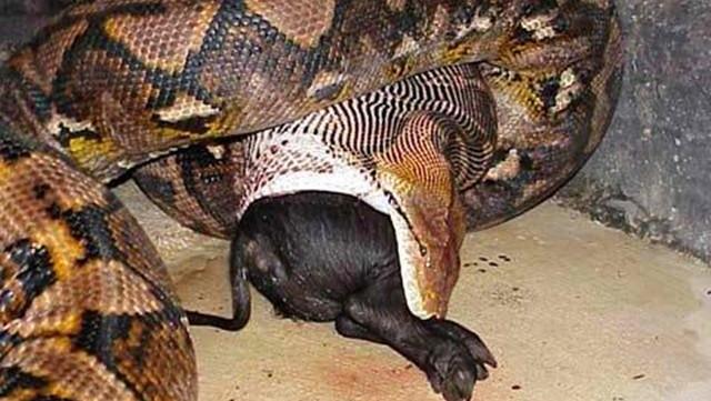 野猪被巨蟒活活缠死后,蟒蛇发现野猪太大竟无从下口!