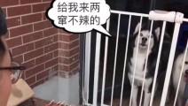 主人烤肉,把二哈和萨摩耶关到门外面,狗狗们的反应太可爱了