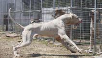 巴基斯坦库达犬凶猛程度堪比非洲鬣狗,比特犬就是道菜!